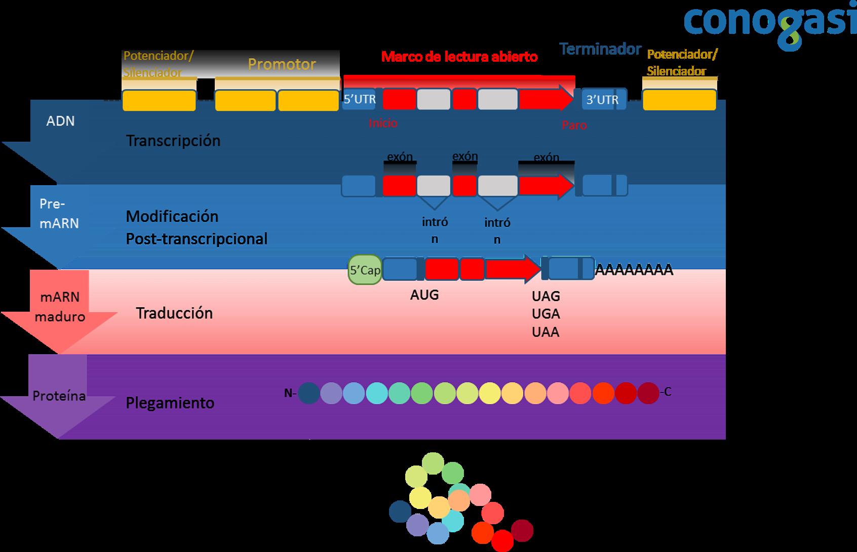 Gen: Desde el código genético hasta la ingeniería genética – Conogasi