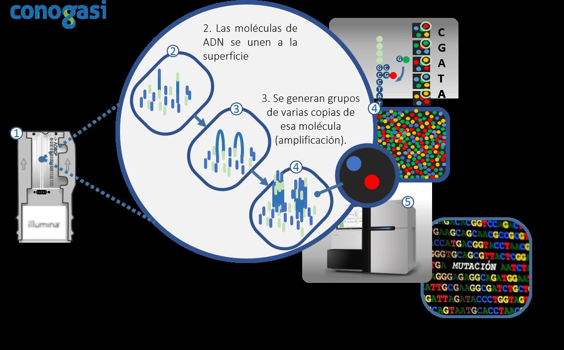 El Genoma: El secreto de la herencia genética humana – Conogasi